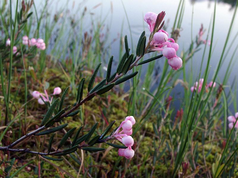 Растения озер и болот