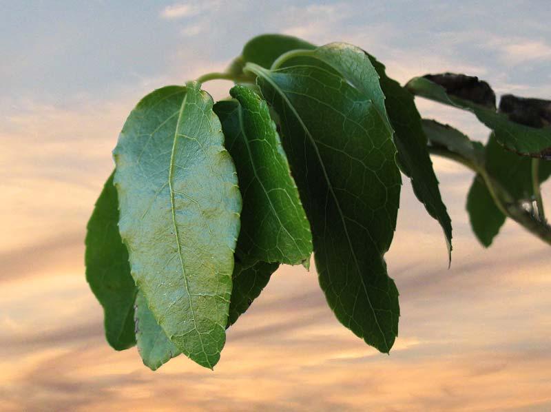 Стебли и листья мальвы для увеличения груди