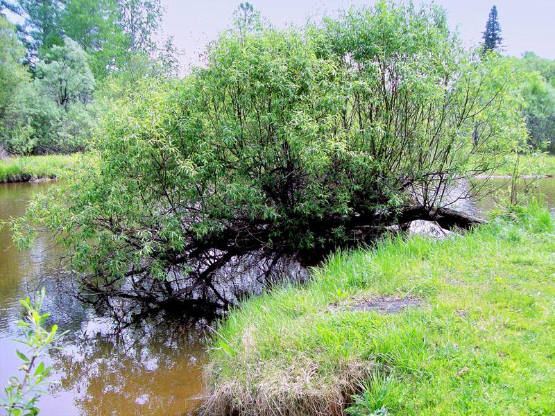 Природа Байкала Многодетный куст.
