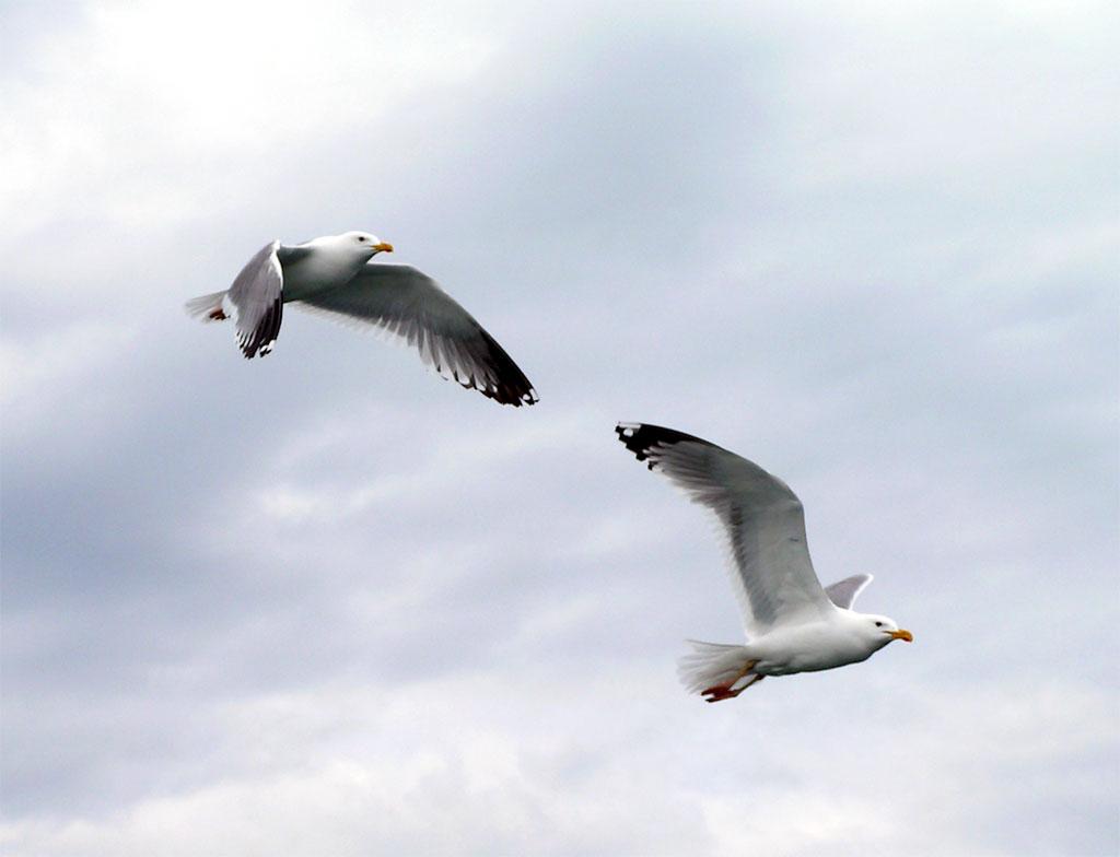Картинки, анимация картинки о чайках