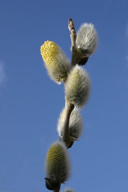 Ива (Salix sp.  - Salicaceae).  Молочай енисейский (Euphorbia jenisseiensis...
