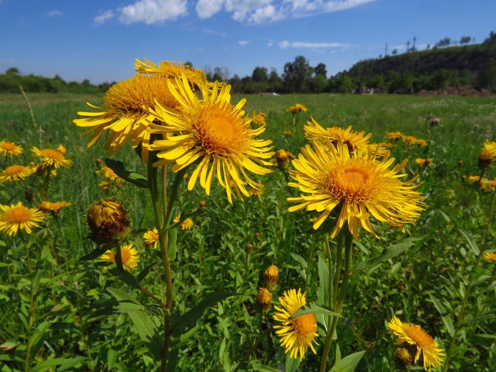 девясил фото растения полезные свойства вашему
