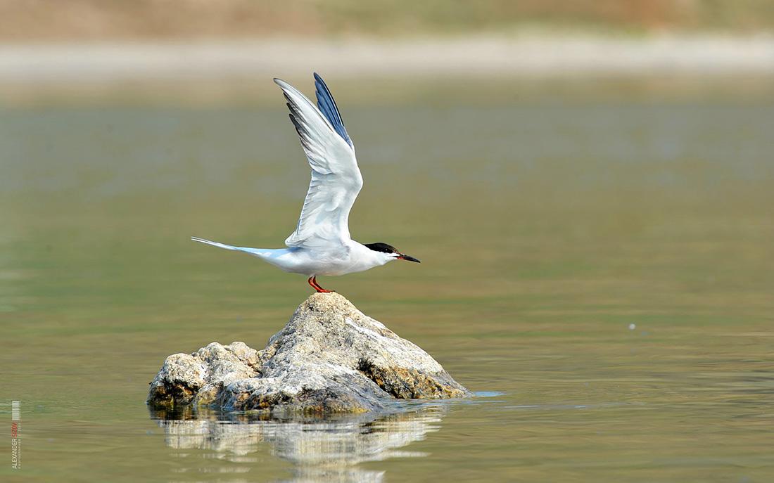 птицы байкала водоплавающие дворик