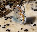 Песня бурой пеночки (файл June 28_2012_Phfuscatus_Kuda 1.mp3, 4773410 байт).  OLIY.  Бабочка голубянка.